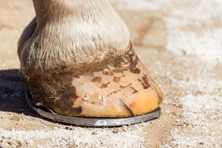 Close-up of a horse hoof with a horseshoe, after trimming and shaping by farrier. Copper nails are visible on the bright hoof.