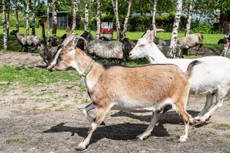 A herd of goats reaching the meadow. A small organic farm in the spring. In the background visible white and red birches.