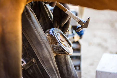 Horse farrier at work - trims and shapes a horse's hooves and hammering a horseshoe to a horse's hoof. The close-up of horse hoof, nail and hammer.