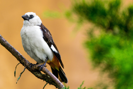 the watcher: The white-headed buffalo weaver or white-faced buffalo-weaver (Dinemellia dinemelli) is a species of passerine bird in the family Ploceidae native to East Africa