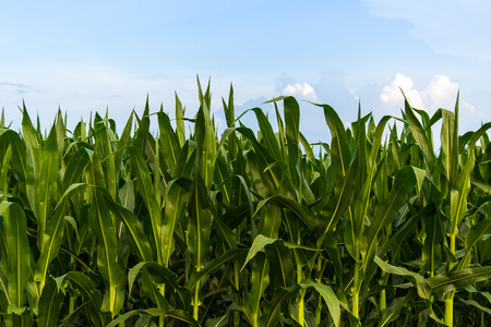 a crop: Fresh green corn growing in a field on farmland under a blue sky with white fluffy clouds. Great farming agriculture photo of vegetable farm crops growing before time to harvest.