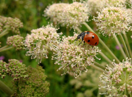 coccinella: Red ladybug (Coccinella) on a white flower