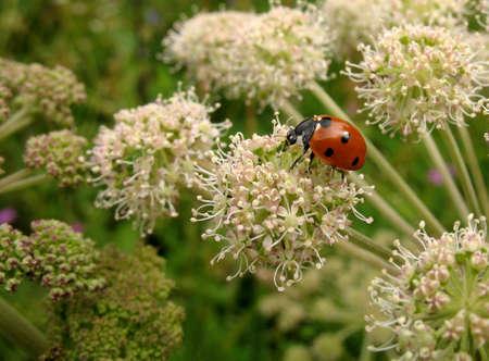 coccinella: Red ladybug (Coccinella) on a white flower