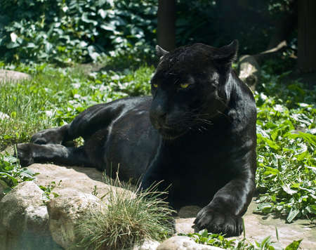 laze: Black Panther Stock Photo