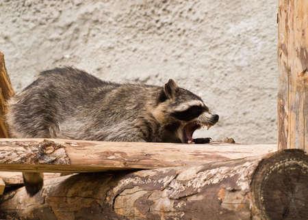 bared teeth: Raccoon with open Jaws Stock Photo