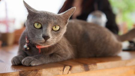 grey cat: Cat thailand  Korat cat, Beauty cat, grey wool.