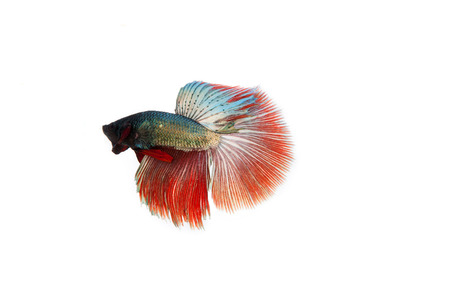 dragon swim: betta fish isolated on white background. Flying betta fish