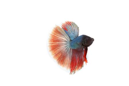 betta fish isolated on white background. Flying betta fish