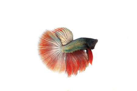 fish isolated: betta fish isolated on white background. Flying betta fish