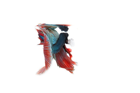 freshwater aquarium fish: betta fish isolated on white background. Flying betta fish