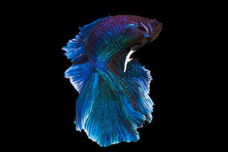 cerulean: Capture the moving moment of purple and cerulean siamese. fighting fish isolated on black background. Betta fish