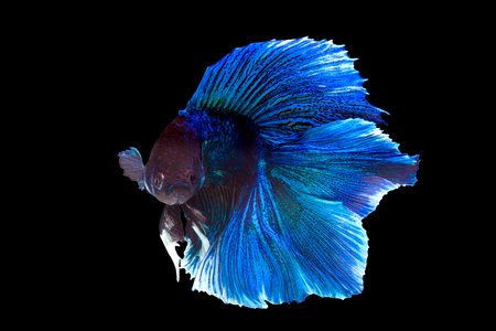 black fish: Capture the moving moment of purple and cerulean siamese. fighting fish isolated on black background. Betta fish