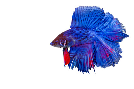 dragon swim: Red and blue siamese fighting fish, betta fish isolated on white background. have clipping path. Stock Photo