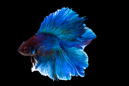 cerulean: Capture the moving moment of purple and cerulean siamese. fighting fish isolated on black background. Betta fish, have clipping path. Stock Photo