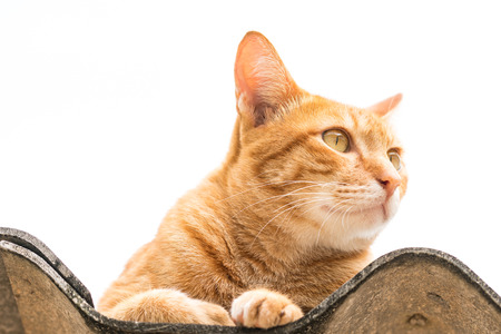 Ginger Cat isolated over white background. Animal portrait.