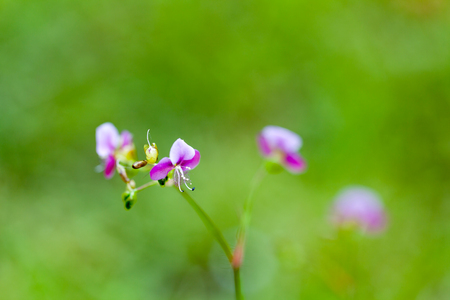 Soft focus style of beautiful poaceae grass flower in green garden. Stock Photo