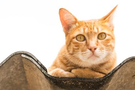 薄茶色の猫は、白い背景の上分離されました。動物の肖像画。 写真素材