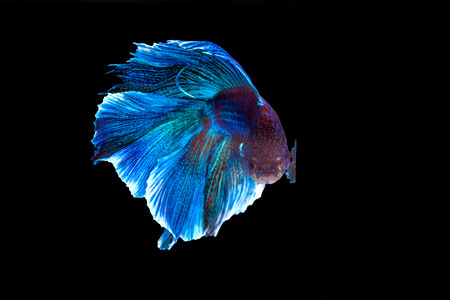Capture the moving moment of purple and cerulean siamese. fighting fish isolated on black background. Betta fish, Have clipping paths.