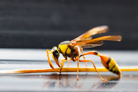 The Hornets, the largest of the wasps. Beautiful and smart shape insect looks like wearing yellow jackets or black yellow armor.
