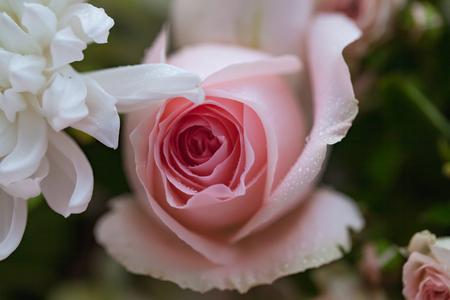Mazzo del primo piano delle rose rosa e bianche con il fondo dei petali rosa, profondità di campo bassa. Archivio Fotografico - 92523105
