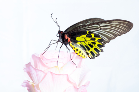 Butterfly Common Birdwing (Troides helena cerberus of Thailand) with pink rose isolated on white background.