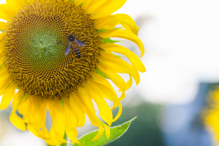 Closeup Sunflower natural background. Sunflower blooming sunset background. Stock Photo