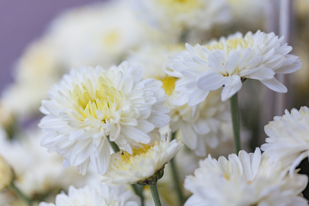 Bouquet of flowers white chrysanthemums with drops of water on petals, natural spring background