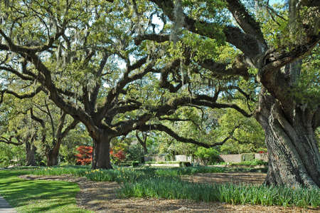southern: A walk with old southern Oaks.