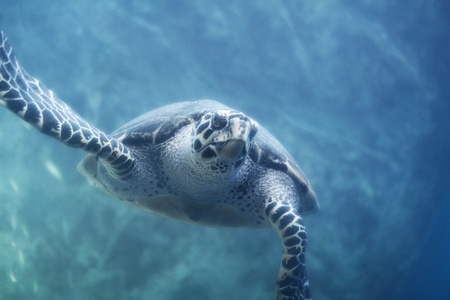 colorful water surface: Sea Turtle swimming in ocean Stock Photo