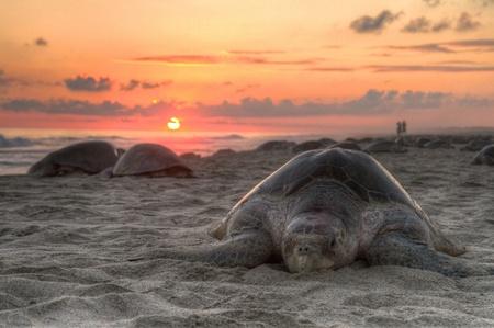 oaxaca: Sea turtle in sunset Stock Photo