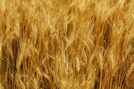 Wheat ears background Stock Photo