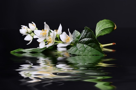 Beautiful Fresh Jasmine Flower and Reflection over Water photo