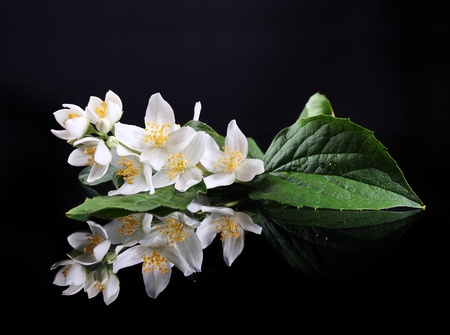 Beautiful Fresh Jasmine Flower and Reflection over Black