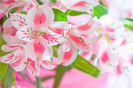 Closeup of pink lily flowers with soft focus. Floral design
