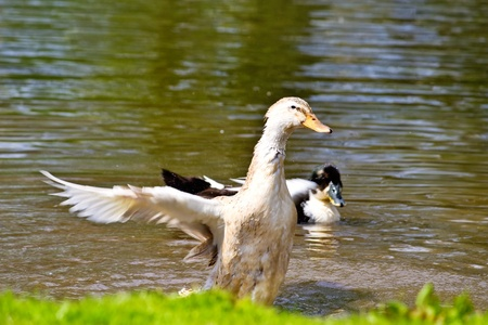 platyrhynchos: Mallard, Wild Duck, Anas platyrhynchos in motion near the water