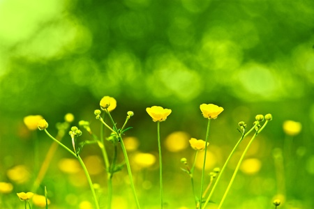 buttercup: Spring flowers background