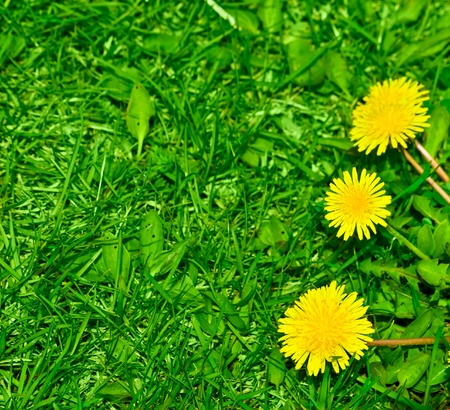 green back: Top view of green grass and dandelion flowers background