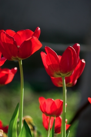 Red tulips Stock Photo - 13972176