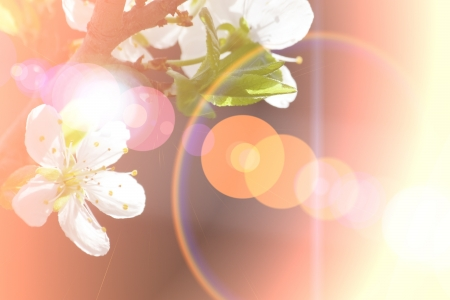 Abstract Cherry flowers background made with color filters Stock Photo - 13972179