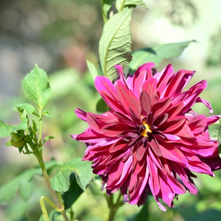 Dahlia Autumn flower outdoors Stock Photo - 16464888