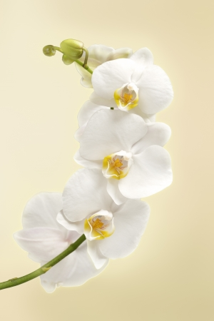 beautiful white orchid flowers photo