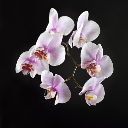 Pink orchid on a black background Stock Photo - 16673128