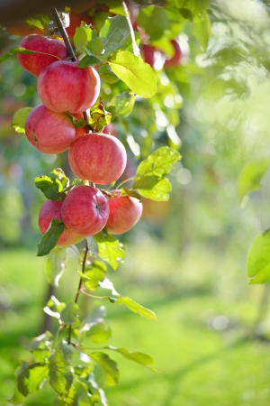 Red apples on apple tree branch Stock Photo