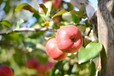 Two red apples on apple tree branch Stock Photo