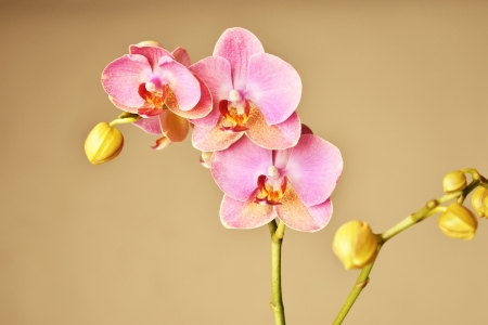Beautiful pink orchid flowers background photo