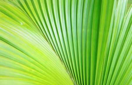 Texture of Green palm Leaf Stock Photo - 21565780