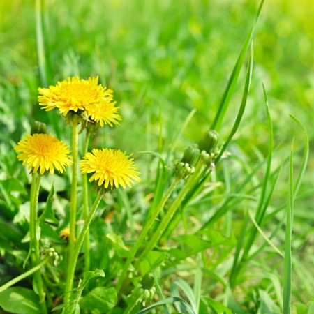 blue dandelion: art beautiful yellow spring dandelion flowers background Stock Photo