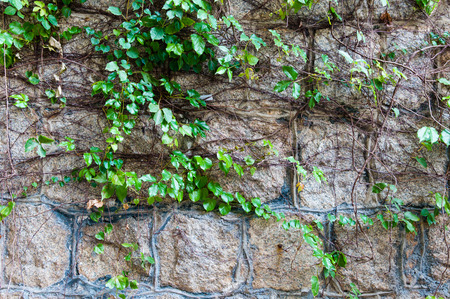 Old stone wall with the growing plant as background photo