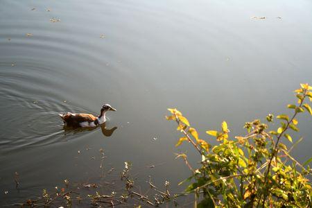 Lone canard placid gracieusement glisser sur l'eau dans un lac