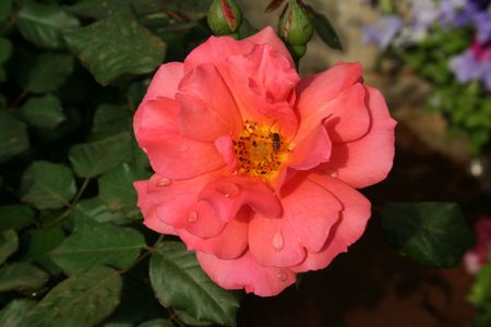 Brillamment fleurs de couleur nacr�e avec gouttes de ros�e sur les p�tales